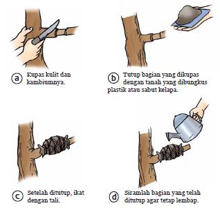 cangkok, cara mencangkok, cangkokan, okulasi, cara mencangkok pohon jambu biji
