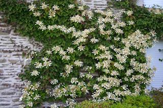 Humulus lupulus Aureus - Houblon dor - Grimpante feuillage dor