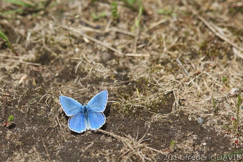 papillon azuré commun couleur bleu forêt Fontainebleau Seine-et-Marne