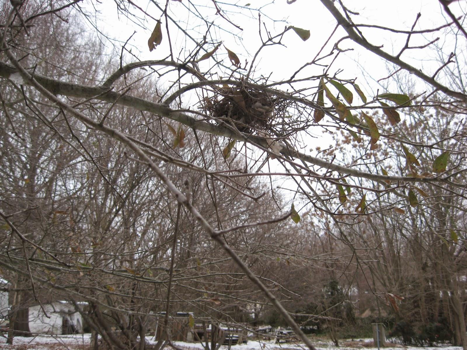 Paloma de luto - las acres salvajes de Maryland