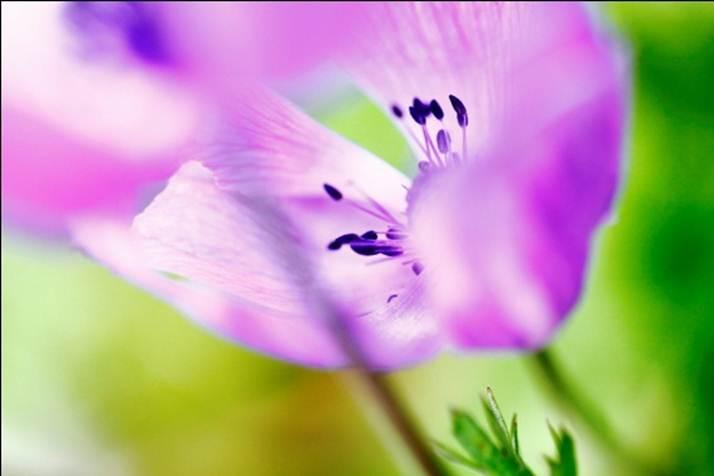 Anemonia.8
