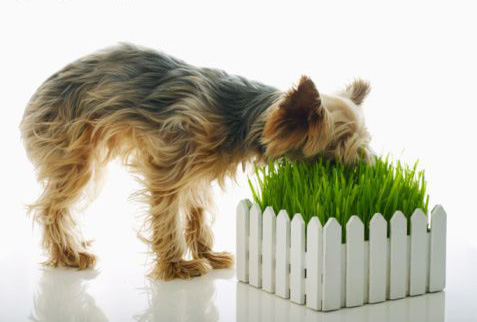 Do Dogs Get Sick From Eating Grass