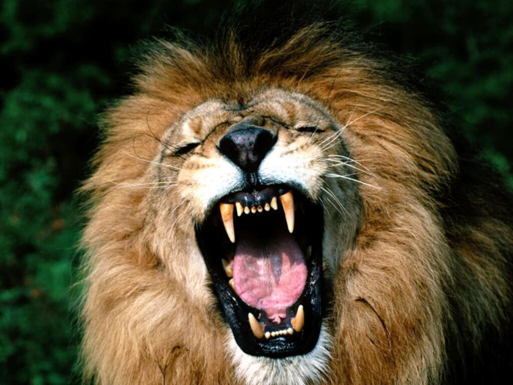 http://3.bp.blogspot.com/-u2jYOSeexFA/Twxmtg4yNZI/AAAAAAAAAEA/sFIwxnl7OSQ/s1600/Roaring-African-Lion.jpg