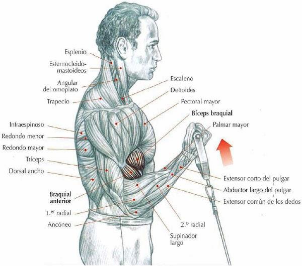 proviron bodybuilding