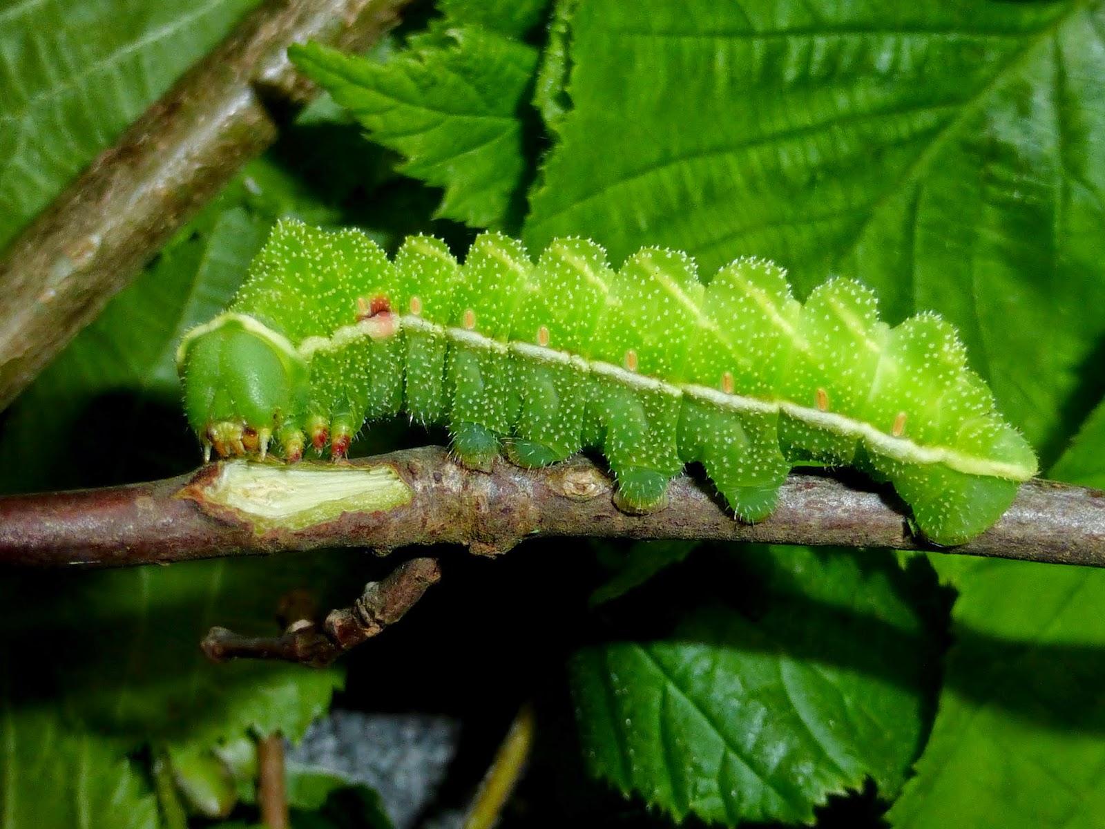 Aglia tau L5 caterpillar
