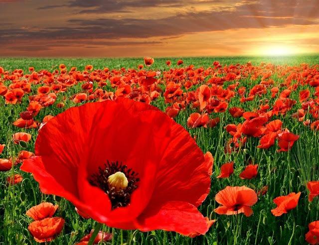 hoa poppy, hoa biểu trưng,  poppy hoa bieu,  hoa bieu trung,  hoc hoa bieu