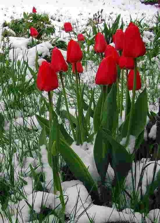 Выгонка тюльпанов к 8 Марта 37