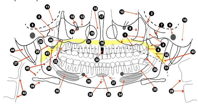 Dentistry Lectures For Mfdsmjdfnbdeore Anatomical Landmarks Of