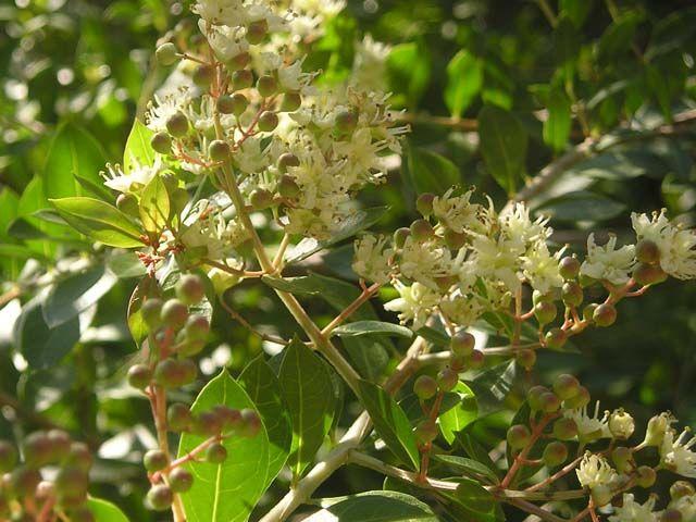 Seminte Si Plante De Gradina Hobby Henna Lawsonia Inermis