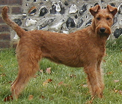 Irish Terriers The Muscular Dogs and Gentic DNA ~ planetanimalzone