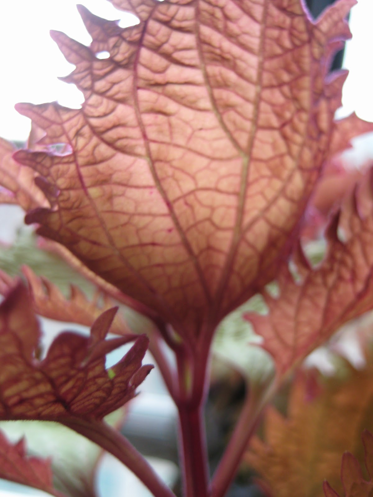 how to take care of coleus