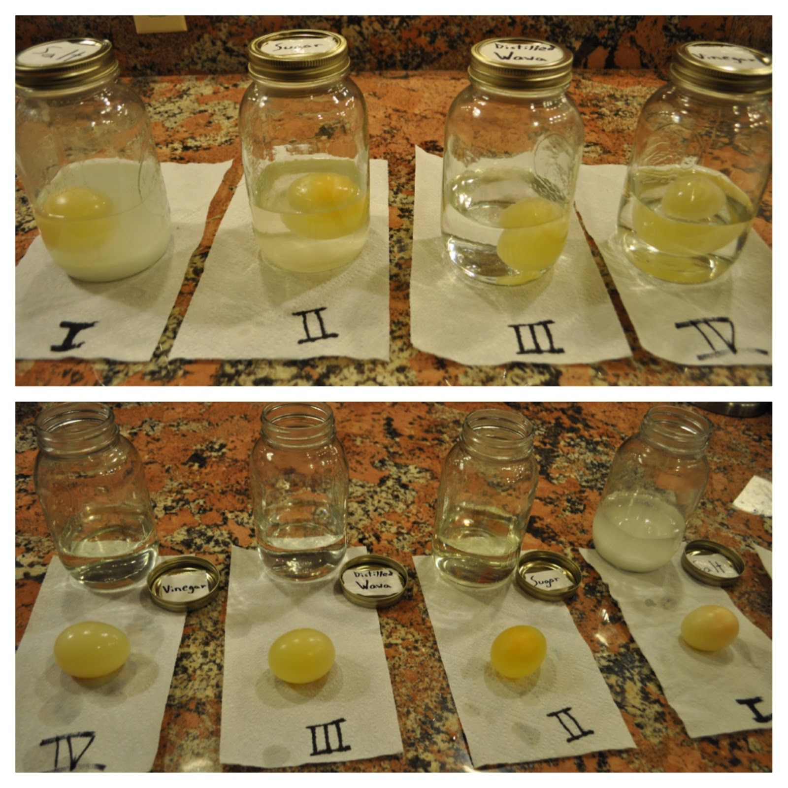 osmosis deshelled chicken eggs In this activity, students use naked (shell-less) eggs (prepared in related naked  eggs: acid-base reaction) to explore the process of osmosis.