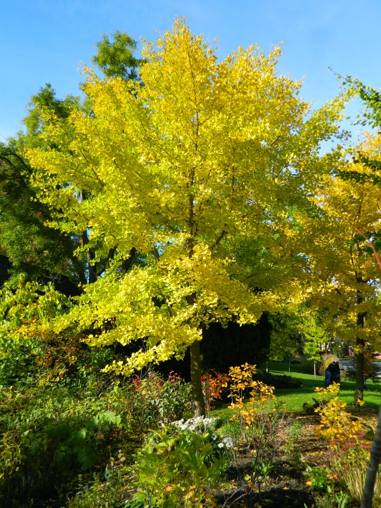 Ginkgo biloba Maidenhair tree fall foliage Toronto Botanical Garden by garden muses-not another Toronto gardening blog