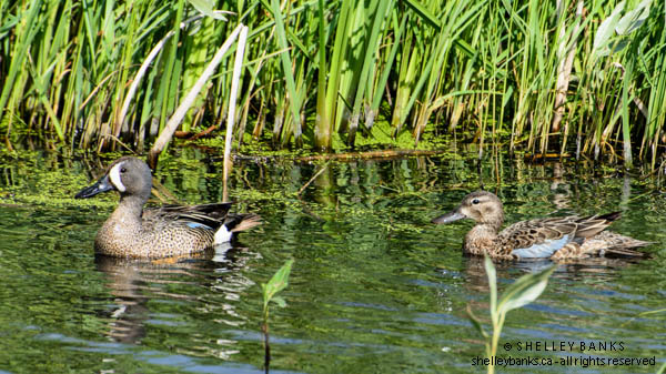 Blue-winged Teals. Photo © Shelley Banks, all rights reserved.