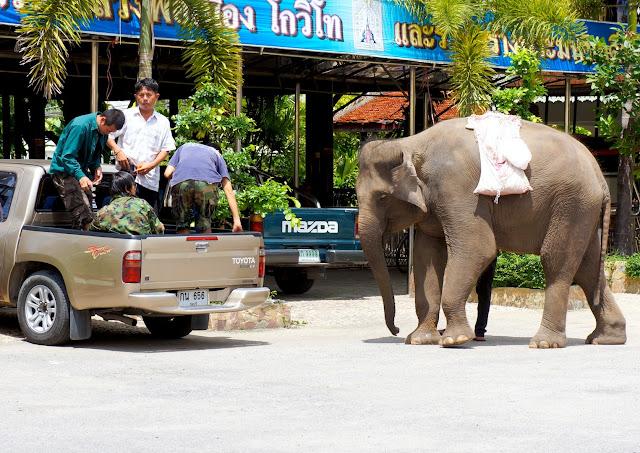 Elephant en Thailande derrière une voiture