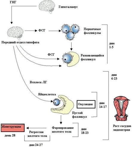 Кровотечение в середине цикла признак беременности