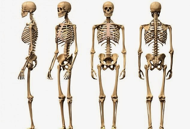 Human Anatomy Full Body Skeleton In India For Sale - Amrut Exclusive ...