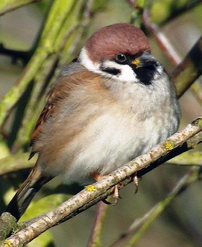 Tree Sparrow
