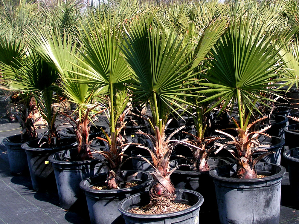 Домашняя пальма фото и название 4