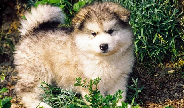 Must see Heavy Weight Chubby Adorable Dog - Alaskan-Malamute-1-645mk070111  Perfect Image Reference_743148  .jpg