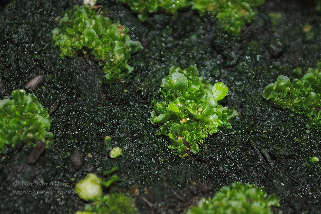Сеянцы дербянки японской (Blechnum nipponicum (Kunze) Makino)