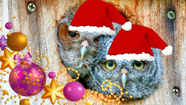 Eastern Screech Owlets Christmas Songs