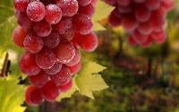 anggur, merah, sumber, resveratrol, alami