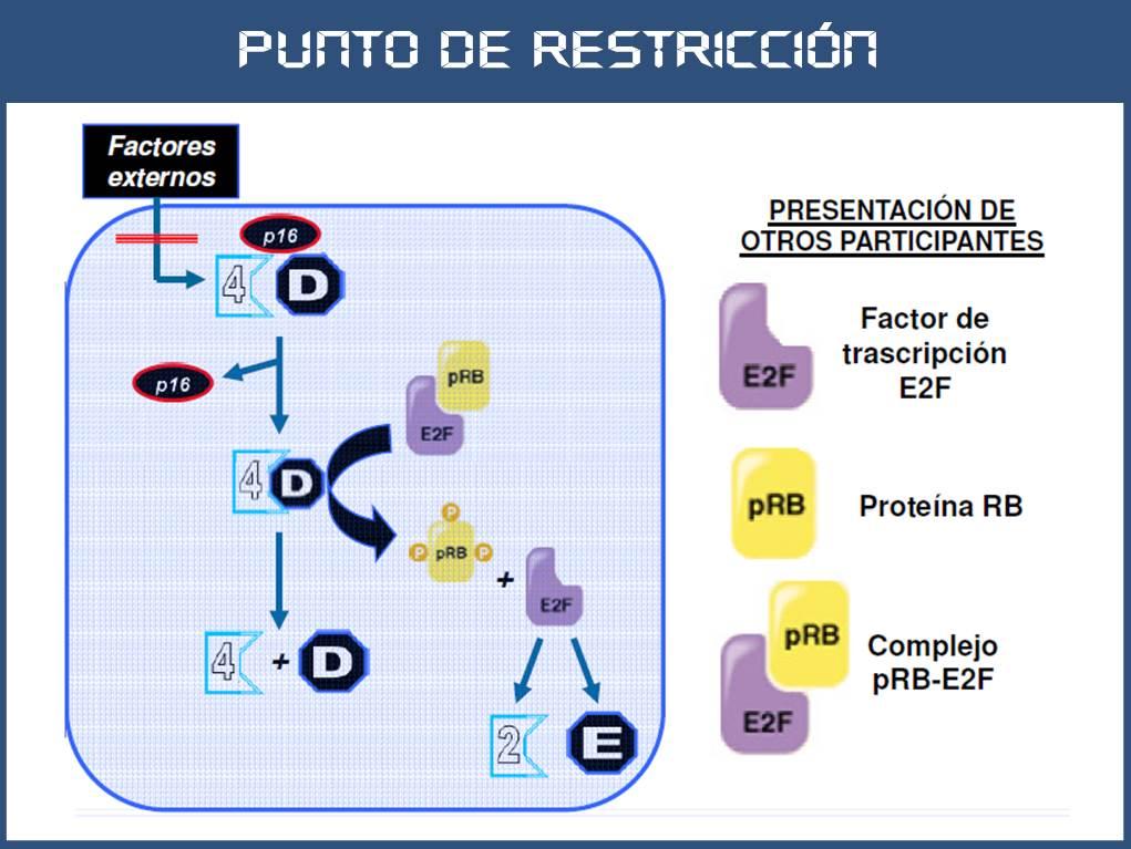 SOS EMBRIOLOGIA HUMANA: Ciclo celular: punto de restricción