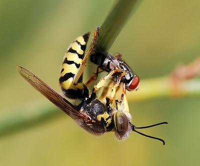 10 serangga paling berbahaya di dunia 721px-Wasp_August_2007-23