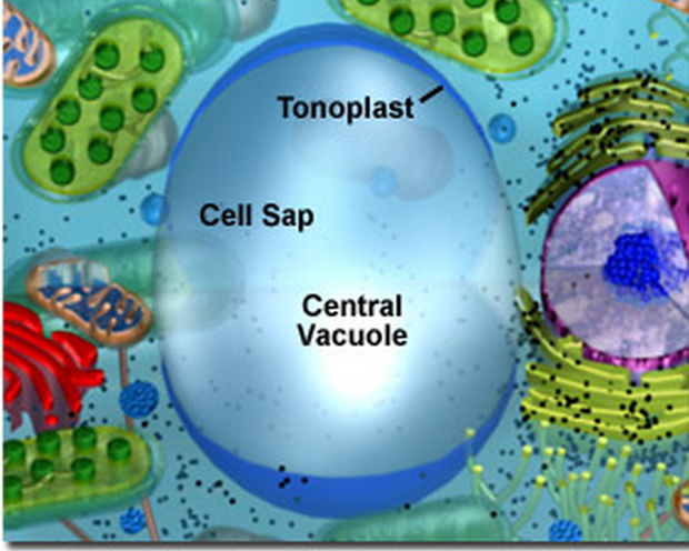 What Cell Stores Food And Water