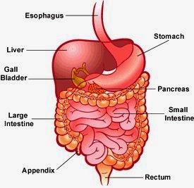 Digestion or Fermentation