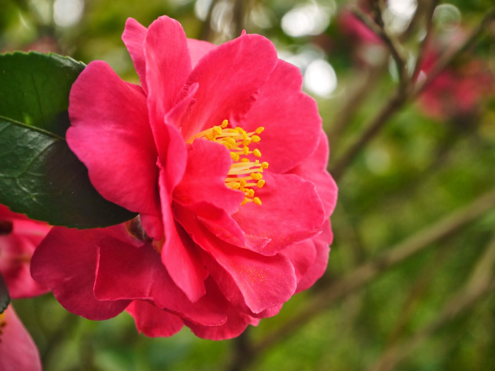Gardens duke camellias are here for Camelia sasanqua