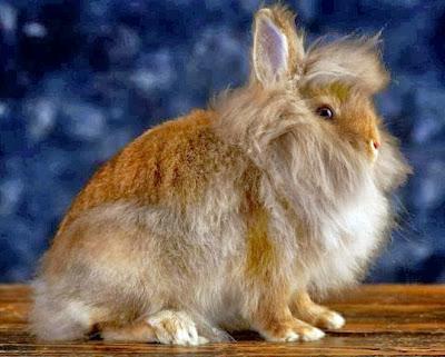 semaraknya kontes kelinci di indonesia