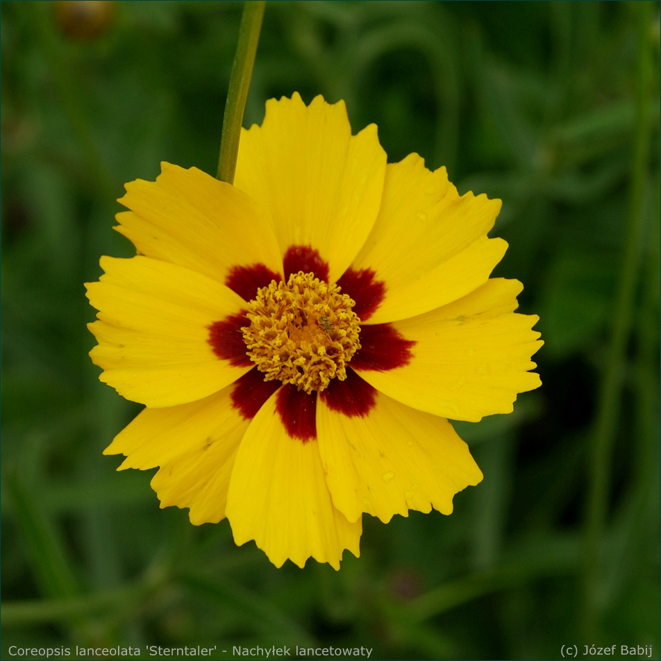 Coreopsis lanceolata 'Sterntaler' - Nachyłek lancetowaty 'Sterntaler' kwiat