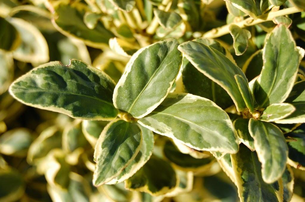 Plantas y flores plantas especies arbustos for Arbustos con flores para jardin