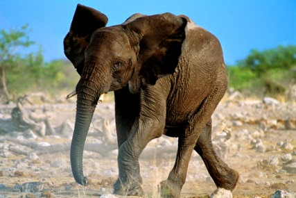 Elephants Might Smell Cancer