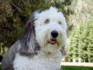 Are Old English Sheepdogs Good Watch Dogs