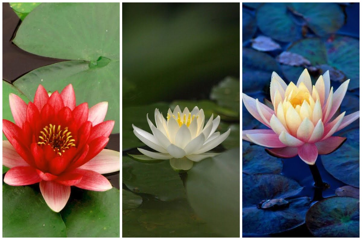 Choose One Lotus And Find Out What Your Choice Says About Your