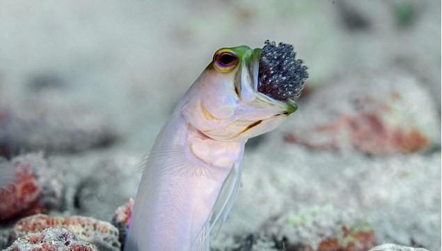سمكة الرأس الاصفر AtOeN
