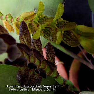 Acianthera saurocephala  - 1 marrom e 2 verde do blogdabeteorquideas
