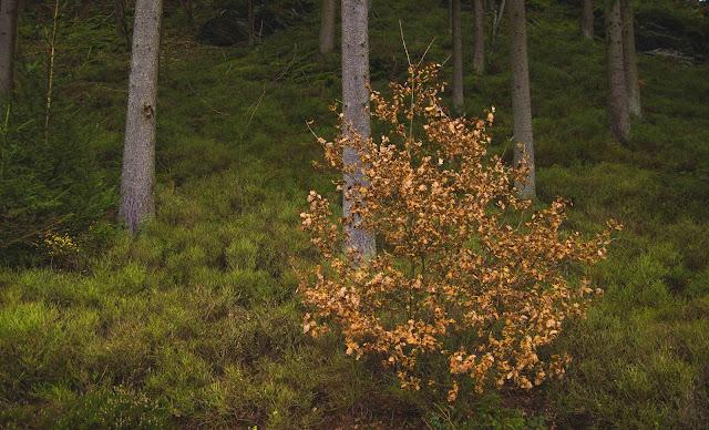 parc naturel hautes-fagnes Wald mit grünem Boden und orangenen Herbst-Blättern