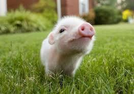 Tea-Cup Pig