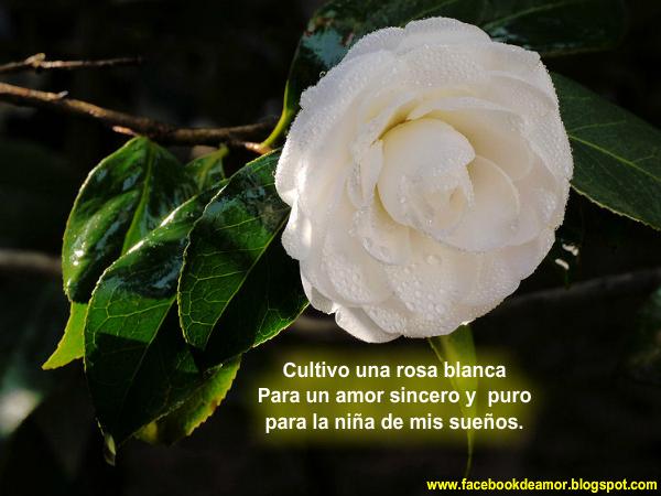 Imagenes Con Frases De Amor Y Una Rosa Blanca Para Facebook | Apps