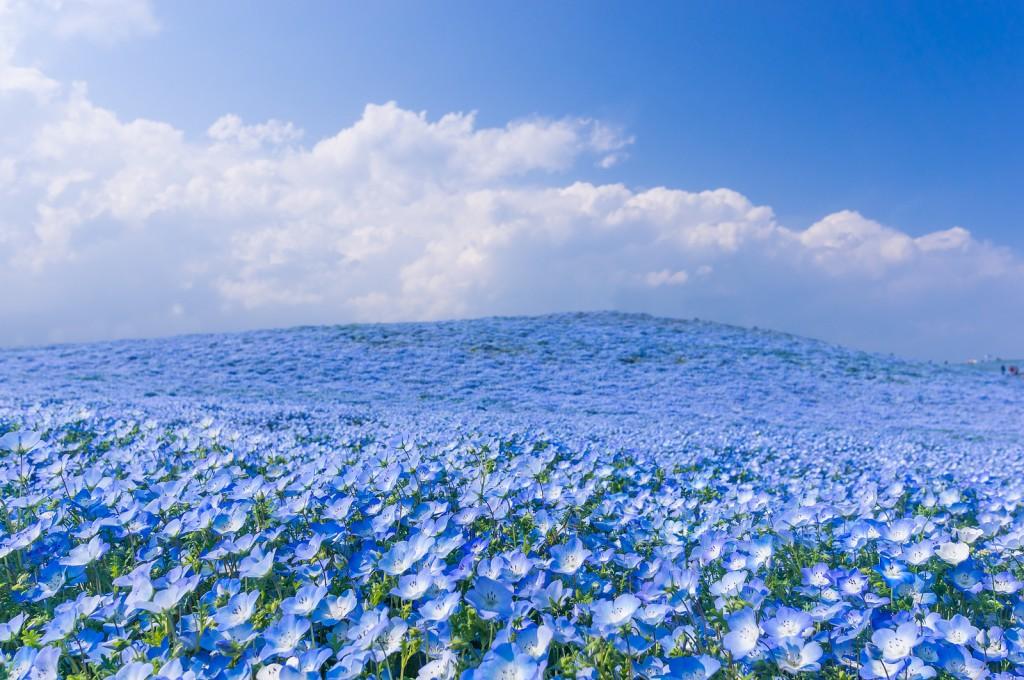 best+flower+nemophila+japan.jpg