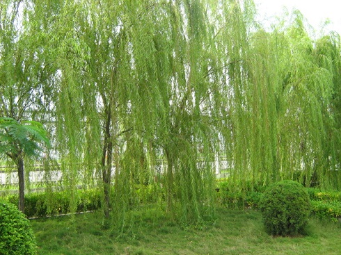 Các loại cây trồng trong nhà theo phong thủy - Cây liễu