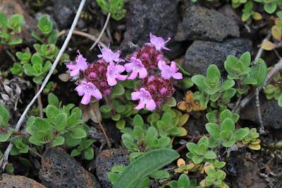 Thymus praecox – Wild Thyme (#49)