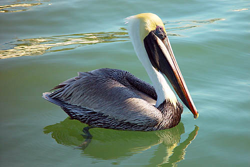O Pelicano Distribuidora Passarinhos: Pelicano-...