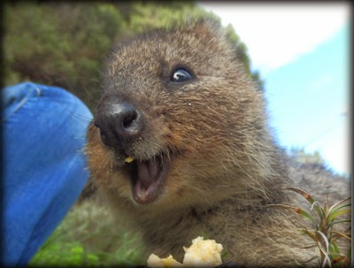Baby quokka smiling - photo#15