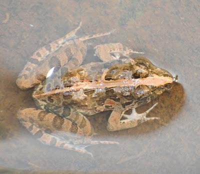 Grass Frog (Fejervarya limnocharis)