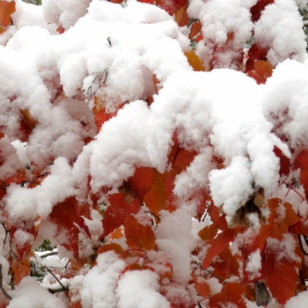 Snow Covered Red Sumac - Snow Photograph